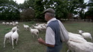 A farmer strolls through a grassy pasture with a herd of sheep. Available in HD.