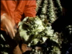1973 MONTAGE Farmer talking with interviewer in lettuce fields / Orange County, CA, United States