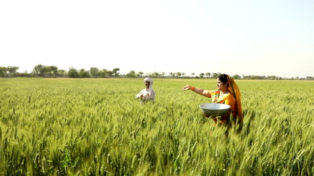 Farmer throwing insecticides in the crops, Haryana, India