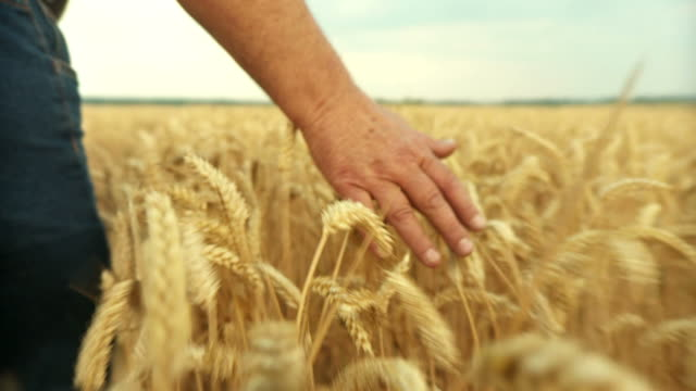 HD SLOW-MOTION: Farmer Touching In Wheat