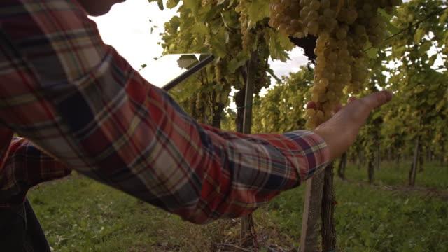 Farmer using digital tablet in the vineyard