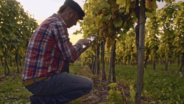 Farmer using digital tablet while checking the vineyard