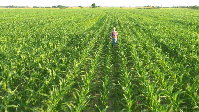 AERIAL Farmer walking in the field of corn
