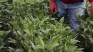 Farmer walks down a row of tall soybeans in an agricultural farm field.