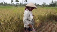 Farmer with traditional hat harvesting rice on ricefield on Java in Indonesia