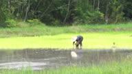 Farmer Working in Rice Paddy