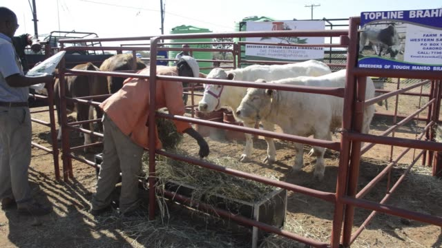 Farmers and cattle gather for the Lobatse International Beef Festival