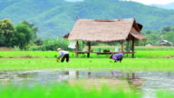 Farmers are planting rice in paddy field
