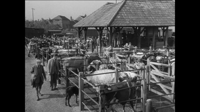 MONTAGE farmers at livestock marketplace / UK / Farmers walk near cattle pens / man guides pigs with a rod / farmers look at livestock in pen