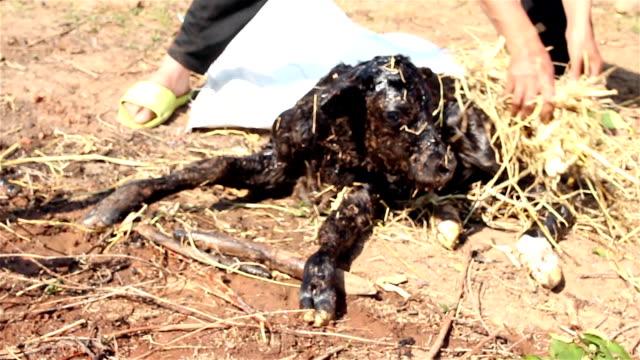 Landwirte Reinigung Neugeborenes Kalbsleder