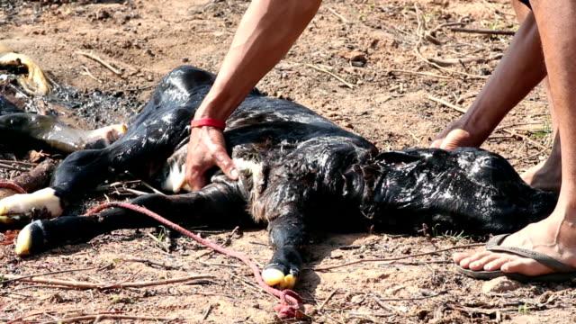 Farmers cleaning newborn calf