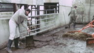 1967 MONTAGE Farmers cleaning up muck on the farm by shoveling and scraping with a tractor / United Kingdom