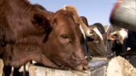 Farmers fill water troughs as their cattle drink. Available in HD.