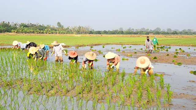 Farmers grow rice