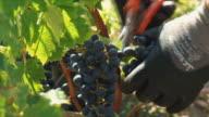 CU Farmer's hands cutting grapes in vineyard / Bordeaux, Gironde, France