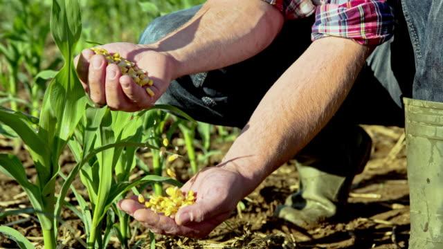 MS DS Farmer's Hands Examining Corn Grains