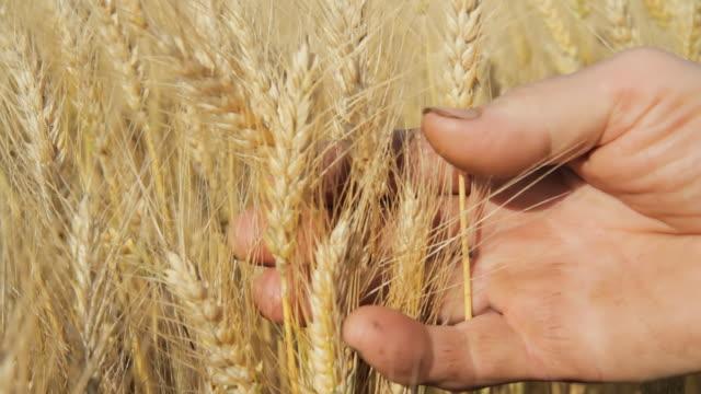 HD: Farmer's mani tenendo il grano
