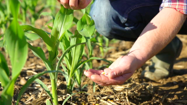 SLO MO Farmer's Hands Pouring Corn Maize