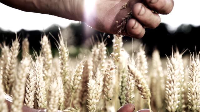 HD SUPER SLOW MOTION: Mani del contadino con grano cereali