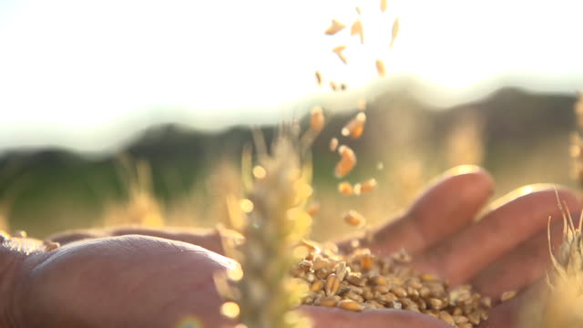 HD SUPER SLOW MOTION: Mani del contadino con grano cereali