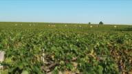 WS Farmers harvesting grapes growing in vineyard / Bordeaux, Gironde, France
