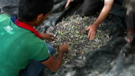 Farmers harvesting olives, selection of the olives, Burqin village, Jenin, Palestine