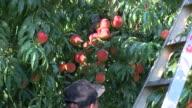 KTLA Farmers Harvesting Peaches in Sacramento