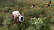 Farmers pick marigolds in a field in India.