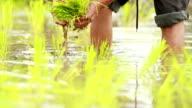 Bauern Pflanzen Reis im Reisfeld, Slow-motion