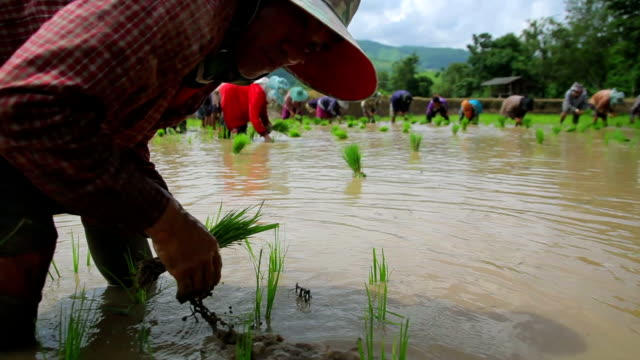 Farmers plant rice in paddy field