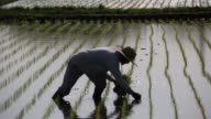 R farmers plant rice seedlings in a paddy field in Katori Chiba Prefecture A farmer plants rice seedlings in a paddy field A farmer uses a rake to...