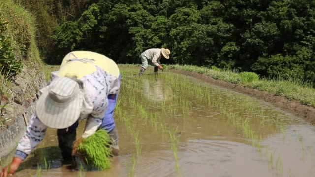 Farmers plant rice seedlings in terraced paddy fields in the Nakayama District of Shodo Island Kagawa Prefecture Japan on Saturday May 14 2016