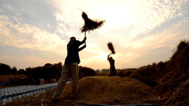 Farmers threshing rice.