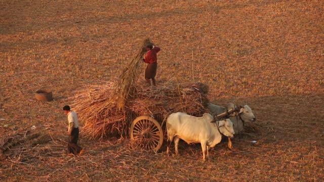 WS HA Farmers working in field with cattle / Bagan, Myanmar