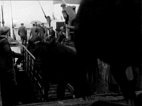 West Highland cattle sale SCOTLAND Oban Boat arriving into quay / LS cattle on deck / CU Cow / Three buyers survey cattle / Cattle off ship / Herd...