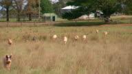 wide shot free range piglets running in a farm paddock farm buildings in background