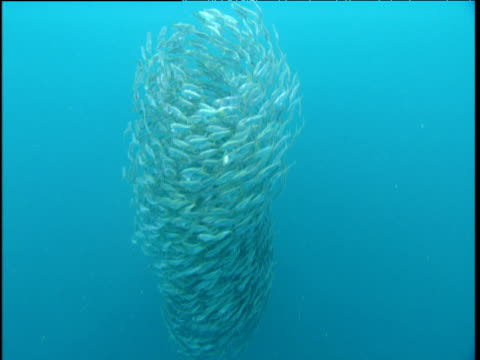Fast swirling bait ball changes direction as fish attack it, Panama