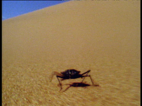 Fast track shot of Narra beetle running very quickly over desert dunes, Namibia