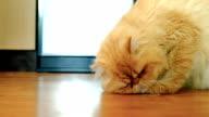 HD: Fat Cat