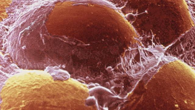 Fat cells, SEM