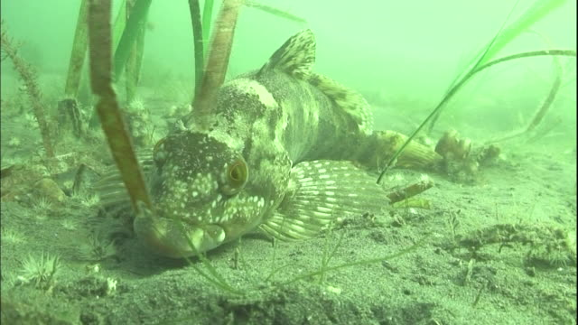 A fat greenling settles on a sandy seabed; a school of Japanese rockfish  swims in Tokyo Bay.