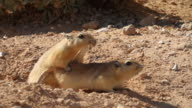 fat sand rat (Psammomys obesus) Mating at the burrow entrance