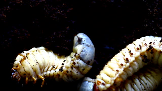 fat white worm