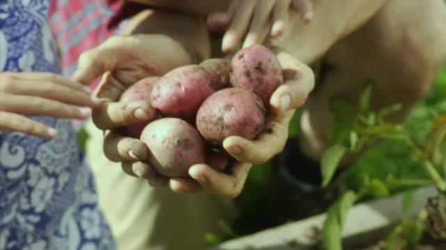 CU TU Father and daughter (4-5) harvesting red potatoes, Bovina Center, New York, USA