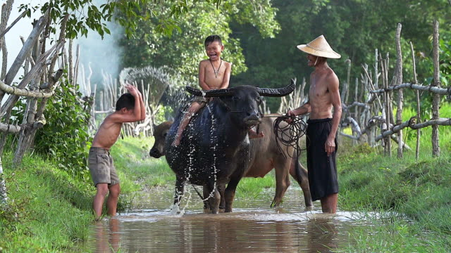 Father and son cheerful playing water splash with a buffalo on the field.Illustrate of lifestyle of asian developing countries.
