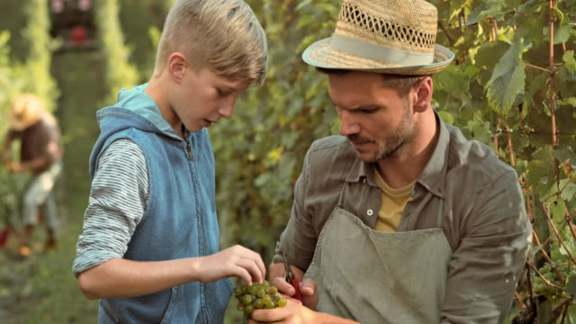 Father teaching son about grape clusters in the vineyard