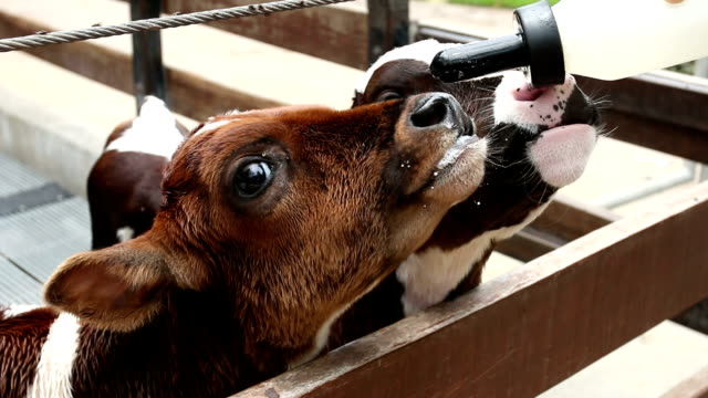 feeding a calf with bottle milk