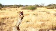SLO MO LS PAN Feeding An African Leopard