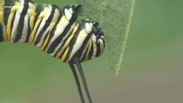 CU of feeding behavior of a monarch caterpillar