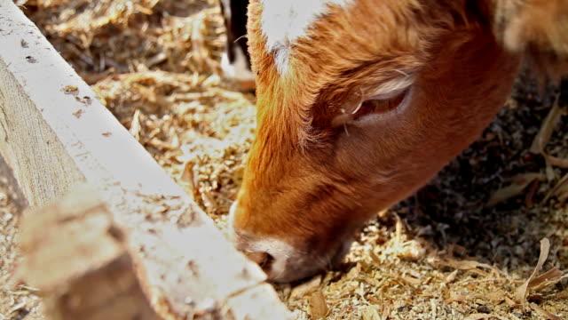Füttern Kühe